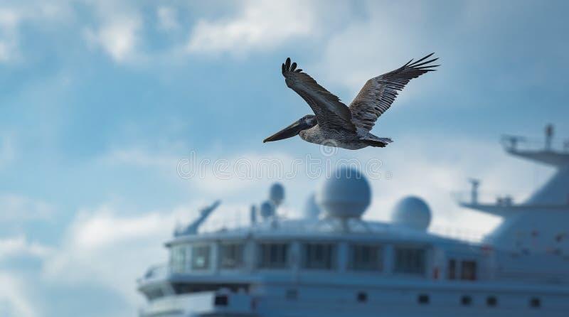 Pelikan fliegt vor einer Brücke eines Kreuzschiffs im C lizenzfreie stockfotografie