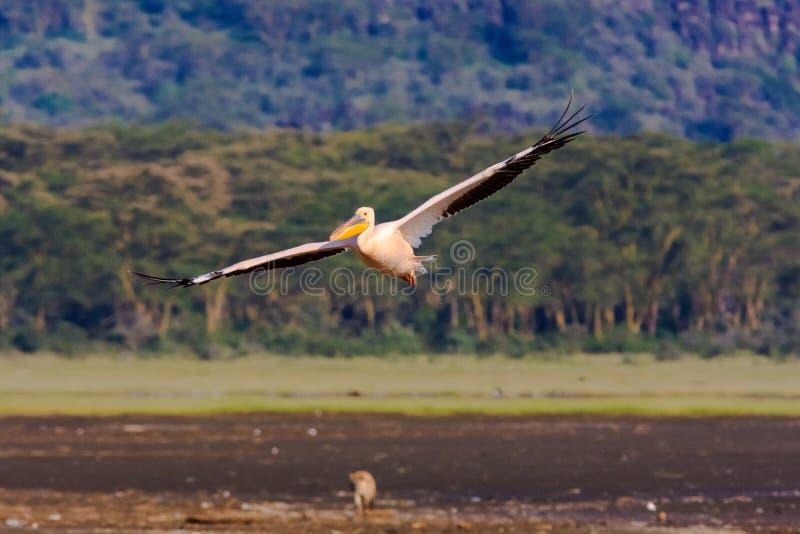 Pelikan flyger över sjön Nakuru royaltyfria bilder
