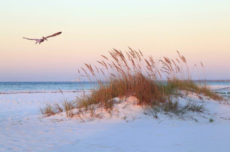 Pelikan Flys över den vita sandstranden på soluppgång arkivbild