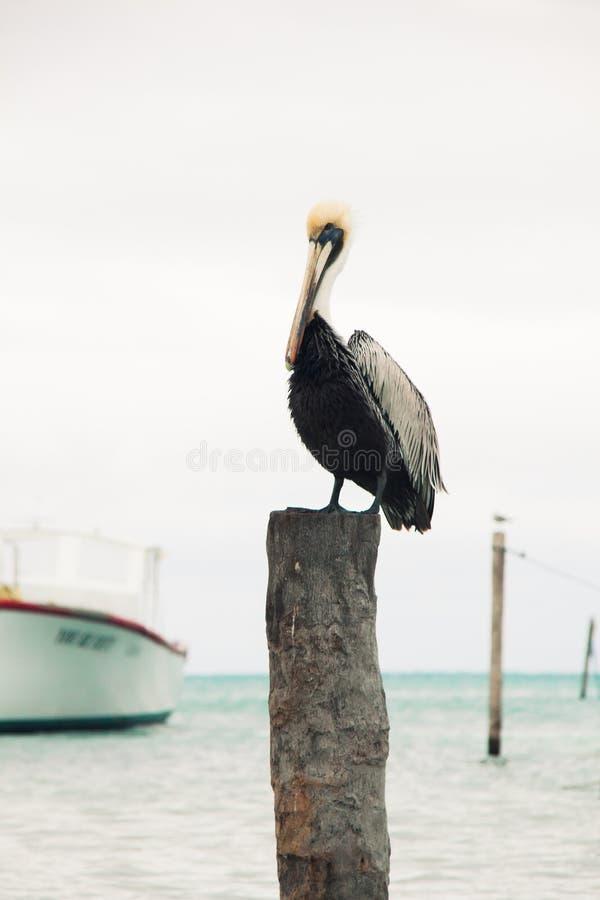 Pelikan gehockt auf hölzernem Liegeplatz-Beitrag und bewölktem karibischem Meer lizenzfreie stockfotos
