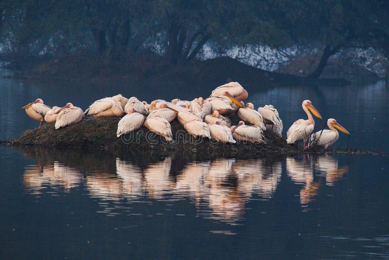 Pelikan i den Keoladeo nationalparken, Bharatpur, Rajasthan, Indien arkivfoto