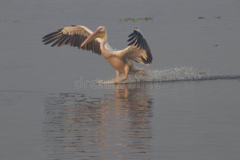 Pelikan i djurlivfristad royaltyfri fotografi