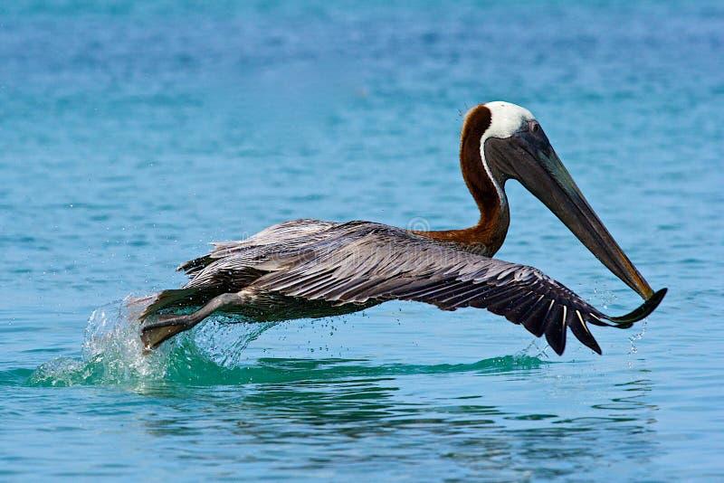 Pelikan i doktors den Liten vik stranden i Tortola som är karibisk arkivfoto