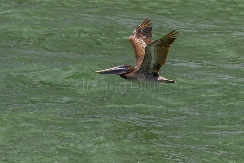 Pelikan i flykten på den klara vattenstranden florida arkivbild