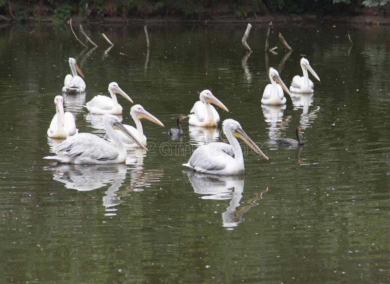 Download Pelikan i natur arkivfoto. Bild av natur, simhudsförsett - 106831614