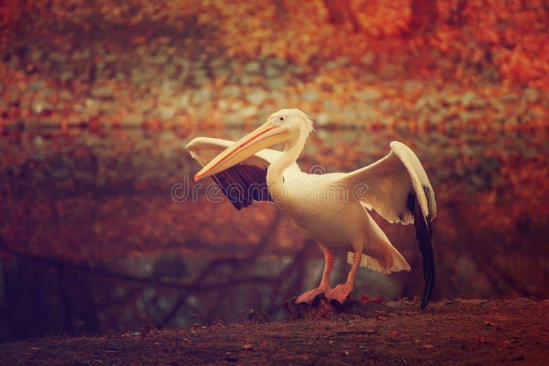 Pelikan i parkera royaltyfri fotografi