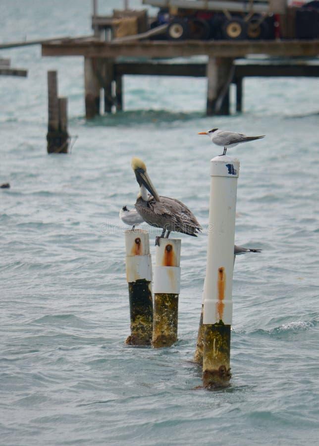 Pelikan i przyjaciele fotografia stock