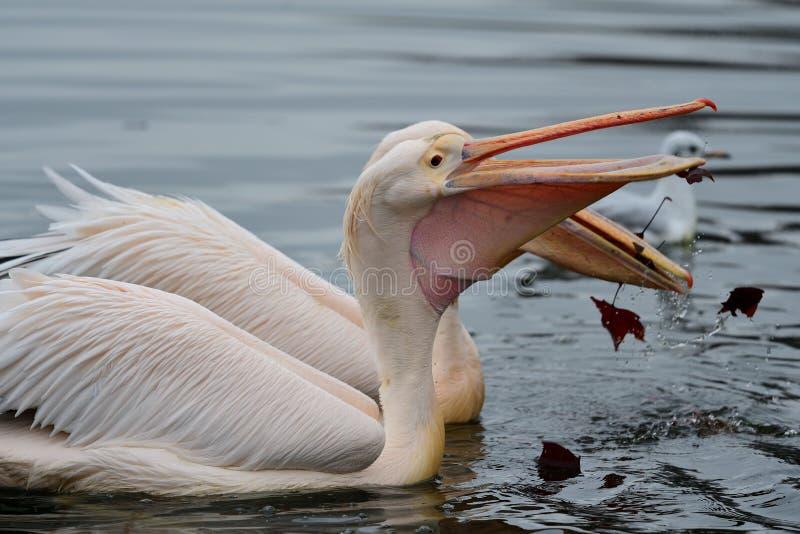 Pelikan i vattnet royaltyfri bild