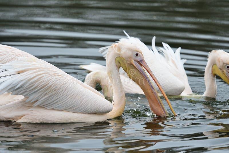 Pelikan i vattnet royaltyfria foton
