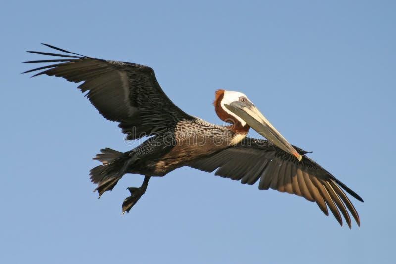 Pelikan im Flug stockfotos