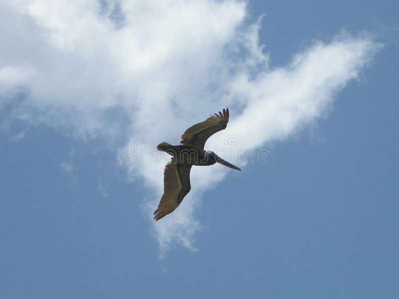 Pelikan im Flug lizenzfreie stockbilder