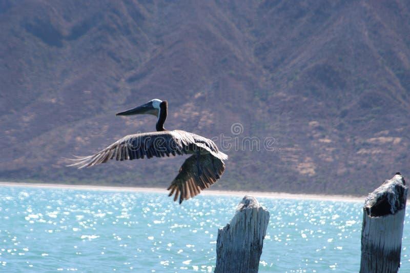 Pelikan im Flug stockfotografie