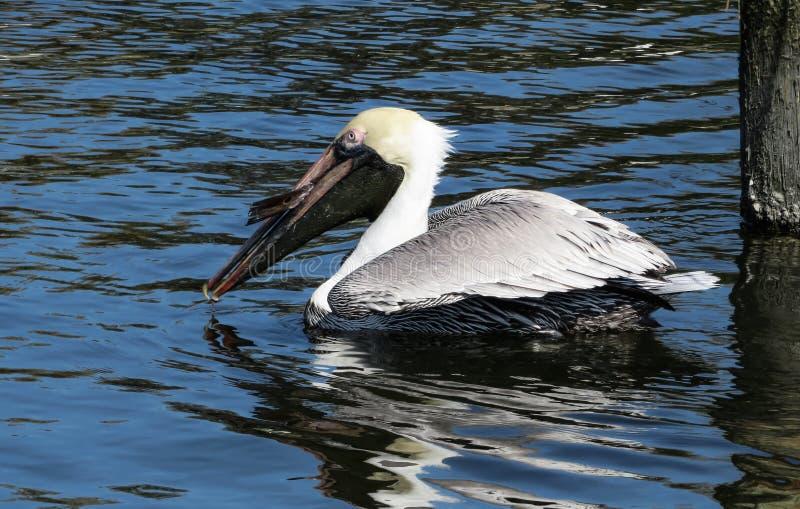 Pelikan im Wasser, nachdem ein Fisch gefangen worden ist lizenzfreie stockbilder
