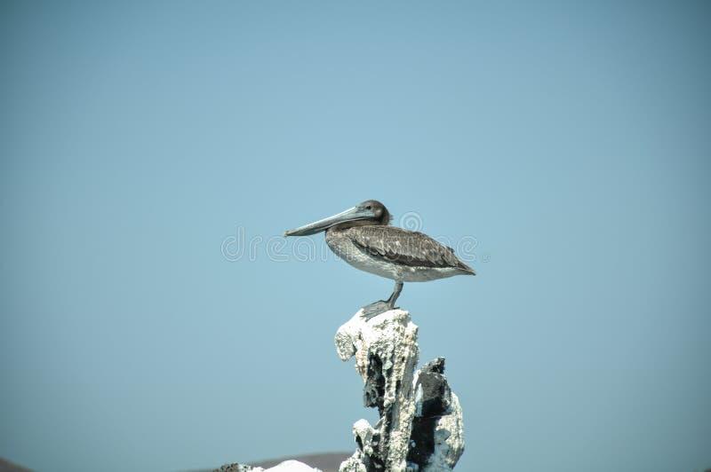 Pelikan jest stać wysoki na skale w baja California sura, Mexico zdjęcia stock
