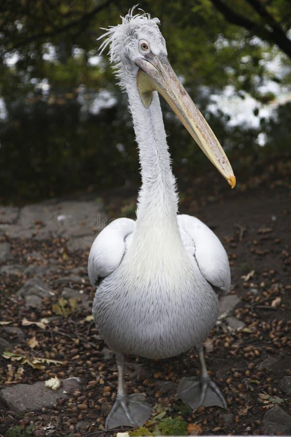 Pelikan jest w Kyiv zoo obrazy stock