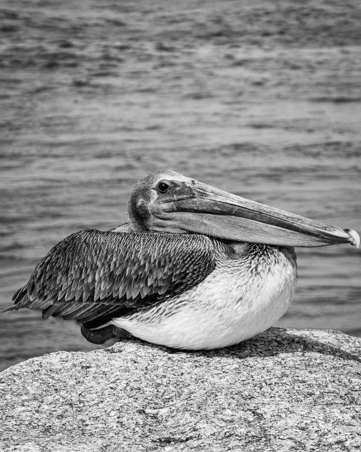 Pelikan Jupiter Inlet Atlantic Ocean Florida royaltyfri fotografi