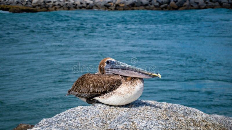 Pelikan Jupiter Inlet Atlantic Ocean Florida royaltyfri foto