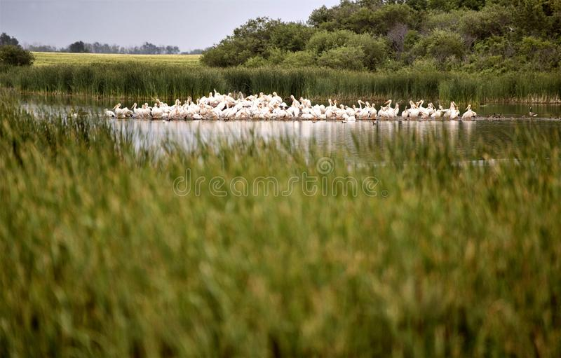 Pelikan kolonia Saskatchewan obrazy royalty free