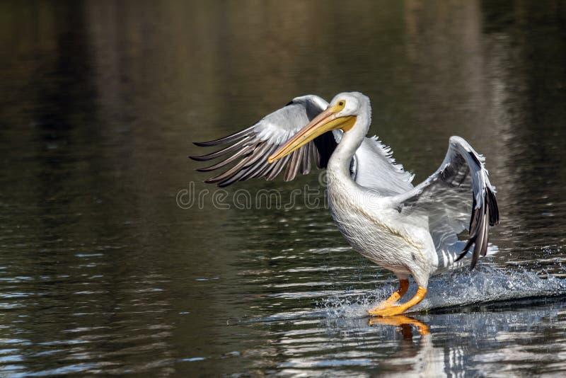 Pelikan ląduje nad jeziorem La Pas zdjęcia royalty free