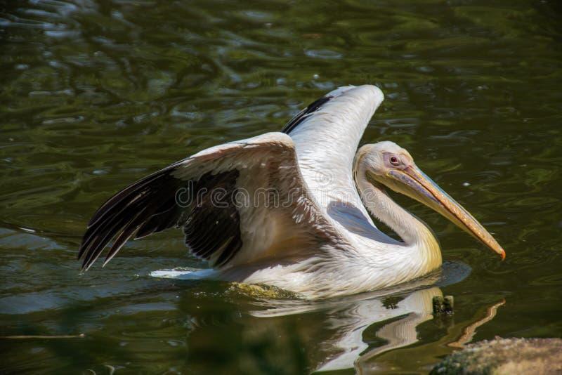 Pelikan a large water bird with yellow-orange beak in the water. Pelikan a large water bird with yellow-orange beak royalty free stock image