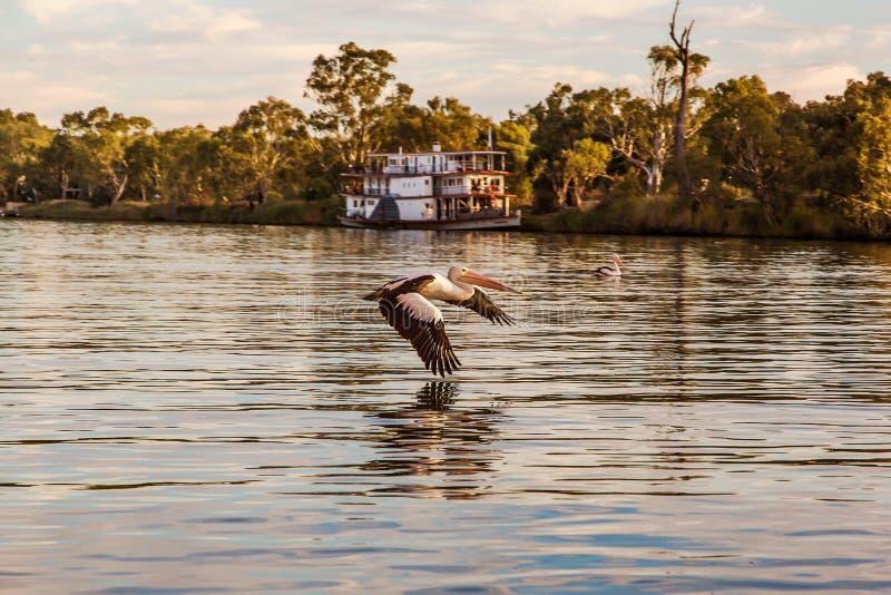 Pelikan latał obraz royalty free