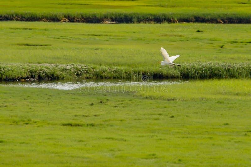 Pelikan lata nad małą rzeką w wielkim zielonym pięknym polu obrazy stock