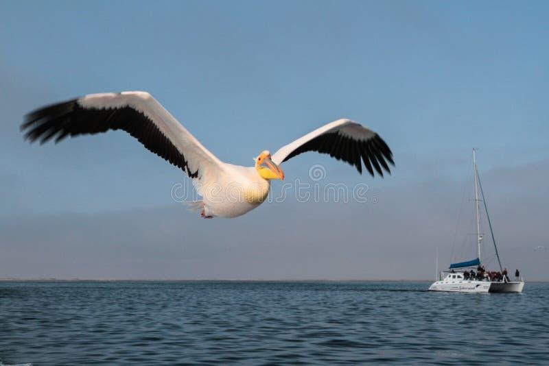 Pelikan lata nad morzem w Walvis zatoce obrazy stock