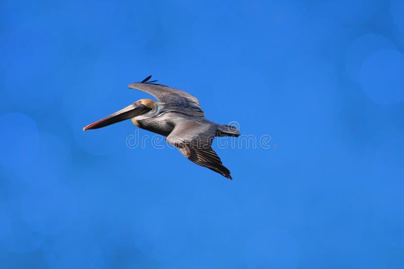 Pelikan leci na niebie nad oceanem obraz royalty free