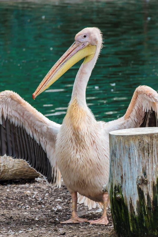 Pelikan mit dem gelben Schnabel, der seine Flügel zeigt lizenzfreies stockfoto