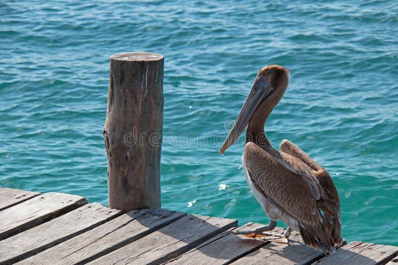 Pelikan na łódkowatym doku na Isla Mujeres wyspie właśnie z Cancun linii brzegowej Meksyk zdjęcia royalty free