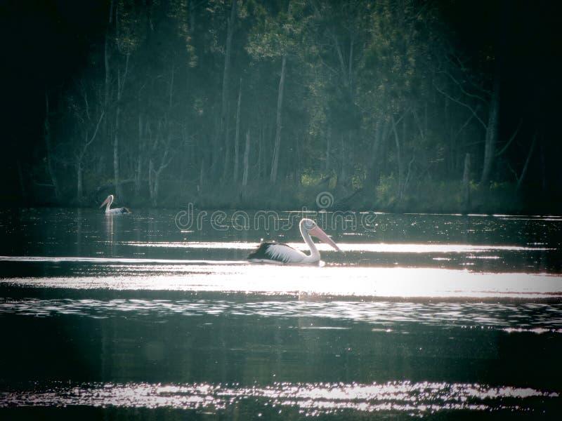 Pelikan na jeziorze fotografia stock