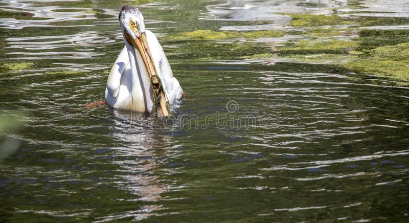 Pelikan na jeziorze w słońcu obraz royalty free