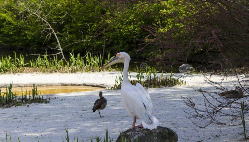 Pelikan och änder arkivfoto
