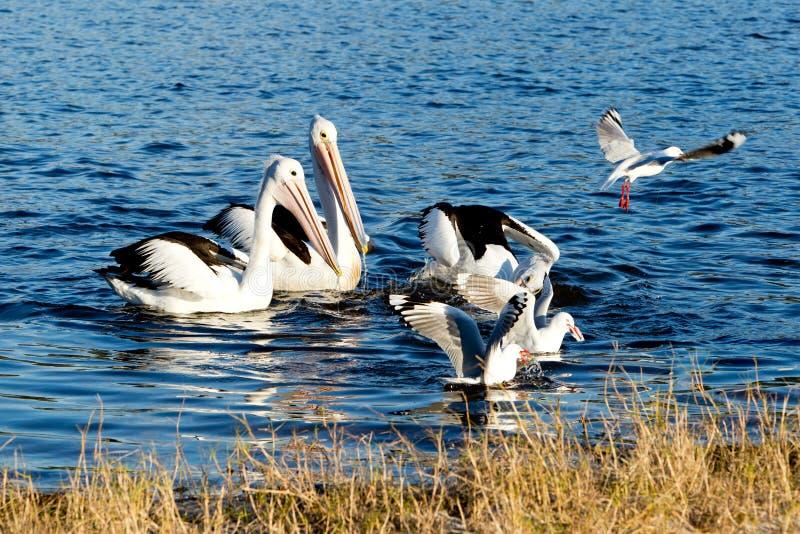 Pelikan och seagulls som dyker för fisk royaltyfri fotografi