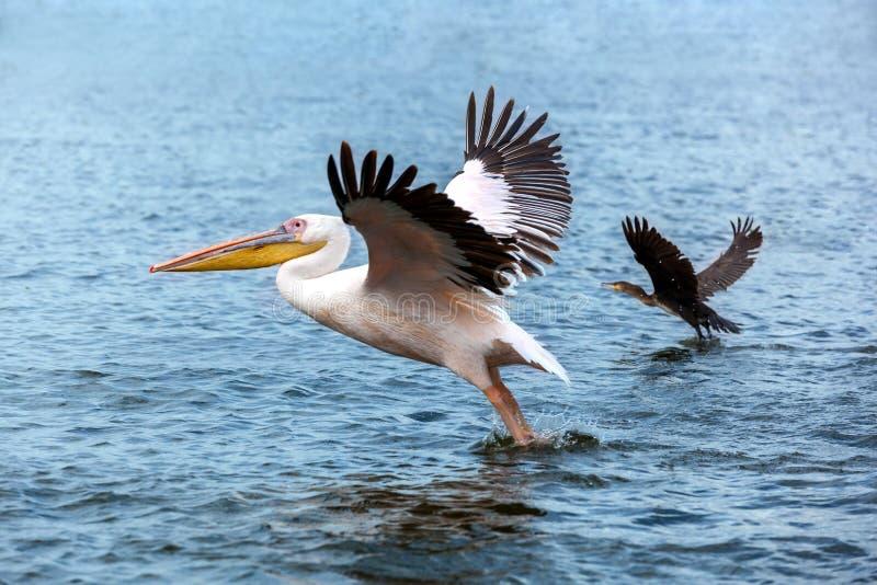 Pelikan och and som tar av på sjön, stora lås för vit pelikan royaltyfri bild