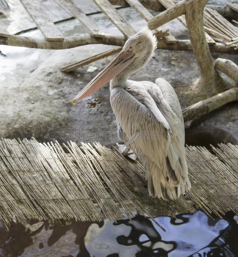 Pelikan på bambubron Djur djurliv arkivbild