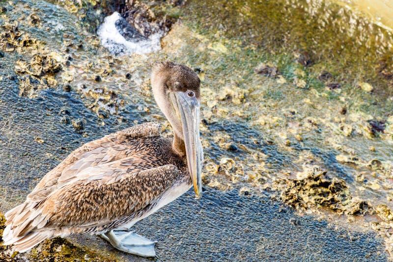 Pelikan på den Galveston ön, TX arkivbild
