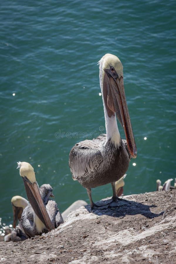 Pelikan på en klippa arkivbilder
