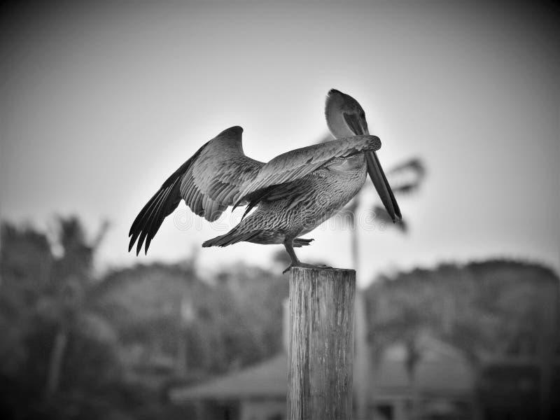 Pelikan på en stolpe royaltyfria bilder