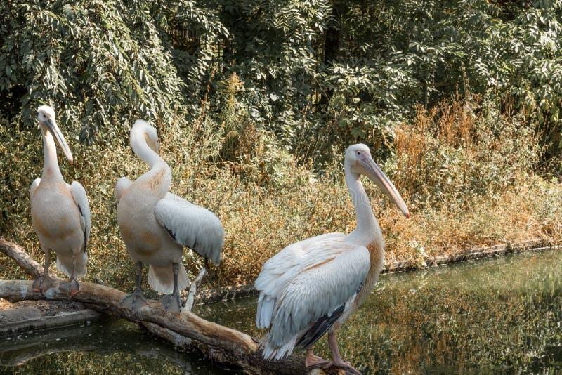 Pelikan på floden royaltyfria bilder