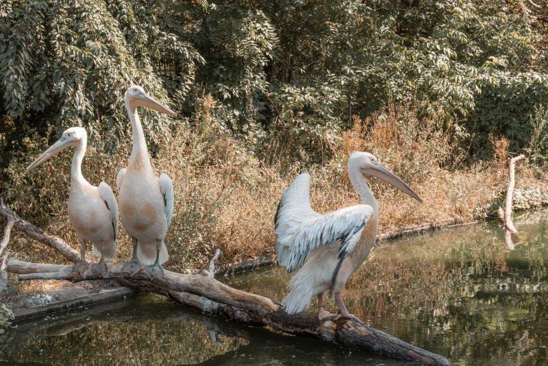 Pelikan på floden arkivfoto