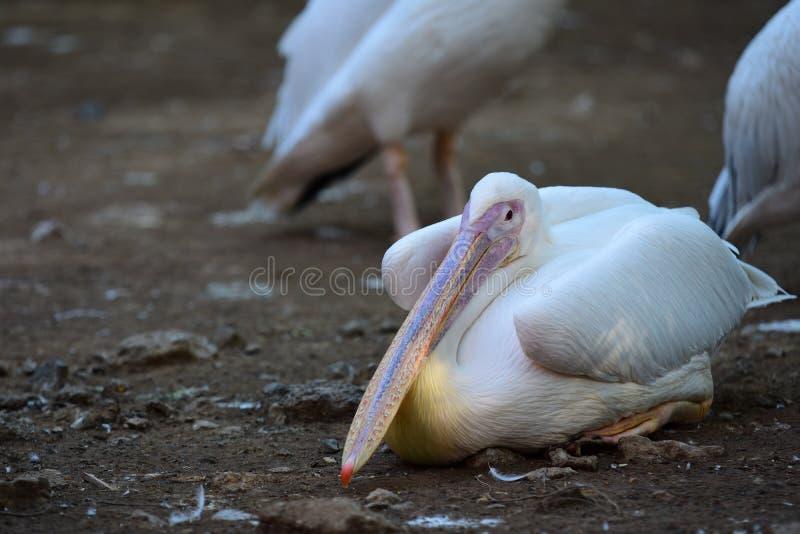 Pelikan på golvet royaltyfri bild