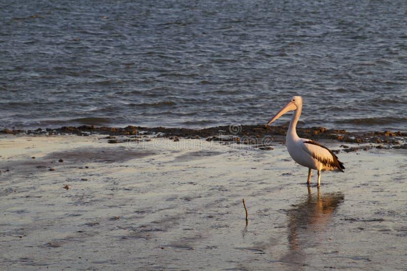 Pelikan på gyttjiga landremsorna i eftermiddagljuset royaltyfri foto