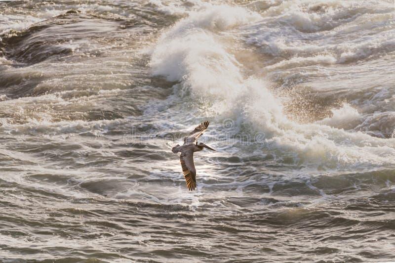 Pelikan på havet arkivfoto