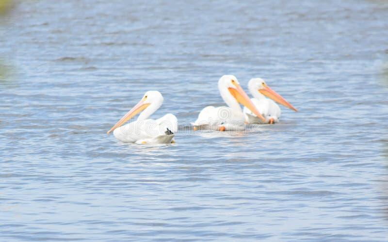 Pelikan på sjön Hefner royaltyfri fotografi
