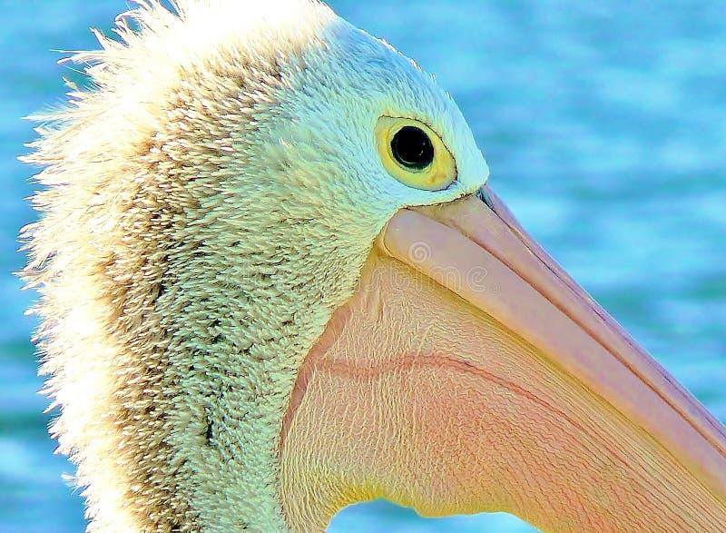 Pelikan på solnedgången royaltyfri foto