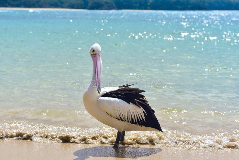 Pelikan på stranden arkivfoton