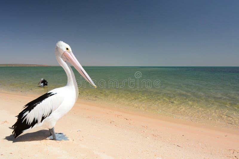 Pelikan på stranden Apa Mia Hajfjärd Västra Australien royaltyfria bilder