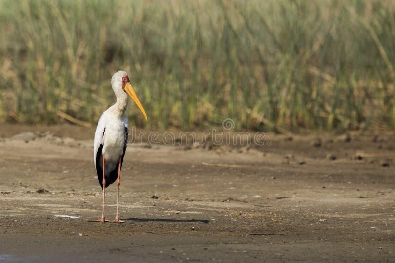 Pelikan på vatten Sydafrika arkivbild
