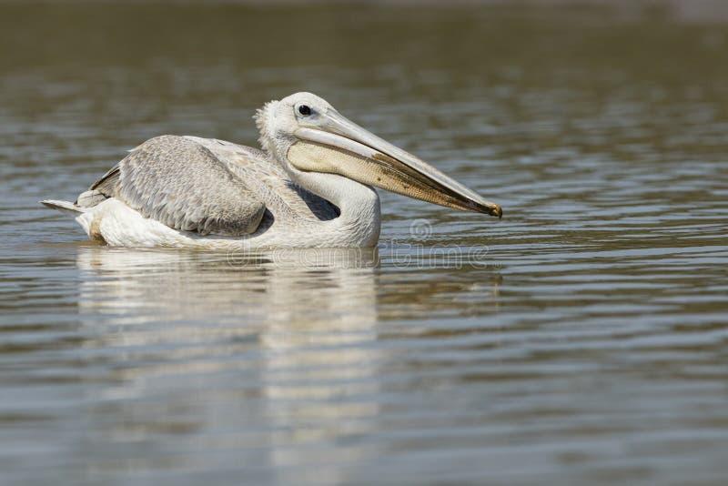 Pelikan på vatten Sydafrika arkivfoton